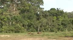 Forest Buffalo herd in bai in Central African Republic Stock Footage