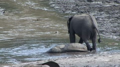 Forest Elephant baby laying down in water in bai in Central African Republic Stock Footage