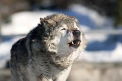 An old howling wolf male in the forest. Kuvituskuvat