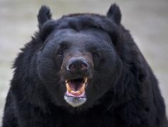 The head with open chaps of an Asiatic black bear. Stock Photos