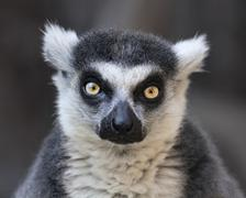 Eye to eye contact with a ring-tailed lemur, Madagascar cat. - stock photo