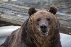 Sneer grimace on the face of a brown bear female. Macro face portrait. Stock Photos