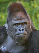 Closeup portrait of a gorilla male, severe silverback, on rock background. Stock Photos