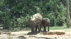Forest Elephant blowing mud on back in bai in Central African Republic 1 Stock Footage