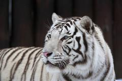 White bengal tiger on dark background. The most dangerous beast. - stock photo