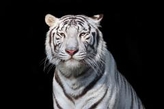 White bengal tiger on black background. The most dangerous beast. - stock photo