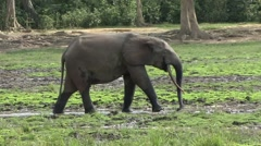Forest Elephant drinking water in bai in Central African Republic 2 Stock Footage