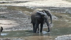 Forest Elephant drinking water in bai in Central African Republic 4 Stock Footage
