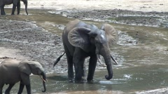 Forest Elephant drinking water in bai in Central African Republic 5 Stock Footage