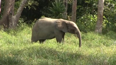 Forest Elephant feeding on gras in bai in Central African Republic 3 Stock Footage