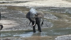 Forest Elephant having a shower in bai in Central African Republic 1 Stock Footage