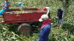 Corn harvester hurling cobs into cart - stock footage