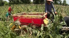 Corn harvester hurling cobs into cart Stock Footage