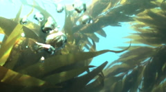Kelp Forest bubbles floating to surface underwatater Stock Footage