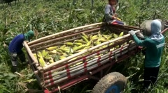 Boy driving cart full of corn cobs - stock footage