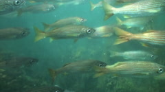 Kelp Forest large school of fish slow motion01 Stock Footage