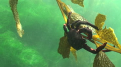 Kelp Crab Red clinging to sea weed Stock Footage