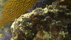 Kelp Forest pacific octopus Stock Footage