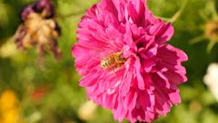 Bee on Cosmos bipinnatus  Double Cranberry flower in the garden 4K 2160p 30fp Stock Footage