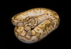 Ball Python isolated on black - stock photo