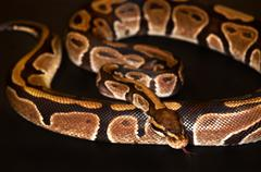 Ball Python isolated on black - stock photo
