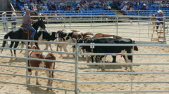 Contest in driving cattle into corral. Cowboys Stock Footage