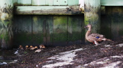 Mother duck and ducklings near pier. Stock Footage
