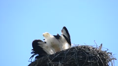 Stork comes down to nest and rattles with its beak Stock Footage