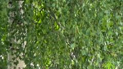 Birch light breeze blowing. Stock Footage