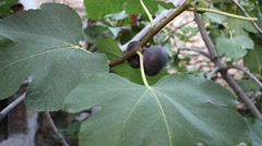 Common fig fruit Arkistovideo