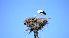 Stork stands patiently on one foot in its nest Stock Footage