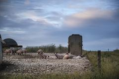 Stock Photo of Pig farming on South Downs in Sussex landscape