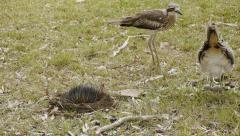 Bush stone curlew checks her eggs Stock Footage