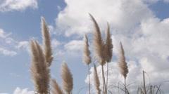 Pampass Grass (Toe Toe) bird flies through Stock Footage
