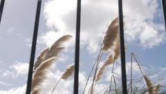 Pampas Grass (Toe Toe) in wind through fence. - stock footage