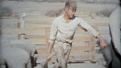 1953: Sheep dragged by legs sheered wool by workers. Stock Footage