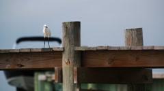 Snowy Egret on dock. Stock Footage