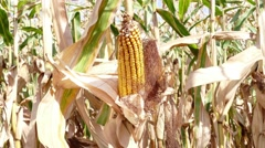 Cob of Corn Growing in Corn Field Stock Footage