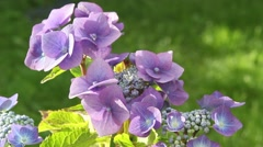 Hydrangea blossom in the garden, HD footage - stock footage