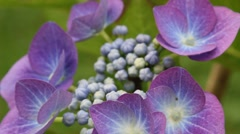 Stock Video Footage of Hydrangea blossom in the garden, HD footage
