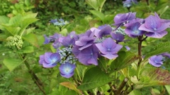 Stock Video Footage of Blue hydrangea ( hortensia) in the garden, close up, HD footage