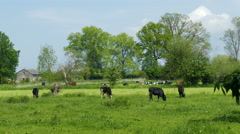 Picturesque scene of cows on a meadow Stock Footage