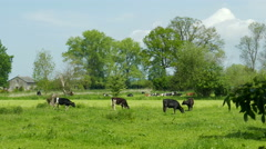 Picturesque scene of happy cows on a meadow Stock Footage