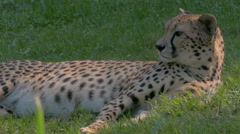 Resting Cheetah (Acinonyx jubatus) lying on grass, close up. Stock Footage