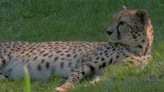 Resting Cheetah (Acinonyx jubatus) lying on grass, close up. - stock footage