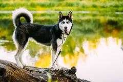 Young Happy Husky Eskimo Dog Sitting On Trunk Of A Fallen Tree - stock photo