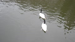 Two beautiful black necked swans in a pond. Cygnus melancoryphus Stock Footage