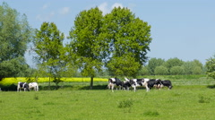 Picturesque scene of cows on a meadow. Organic farming - stock footage