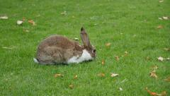 Rabbit eating grass in the field and relaxing 4K 2160p UltraHD footage - Bunn Stock Footage