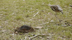 Bush Stone Curlew nesting on eggs - tripod shot Stock Footage